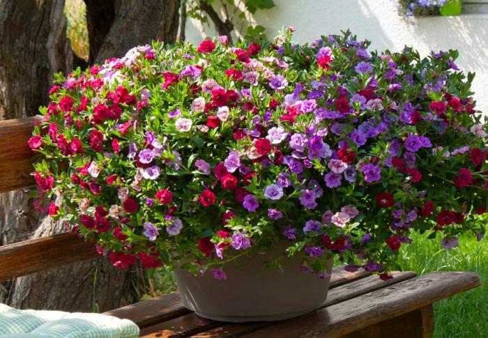 Калибрахоа — пышный водопад ярких цветов на участке