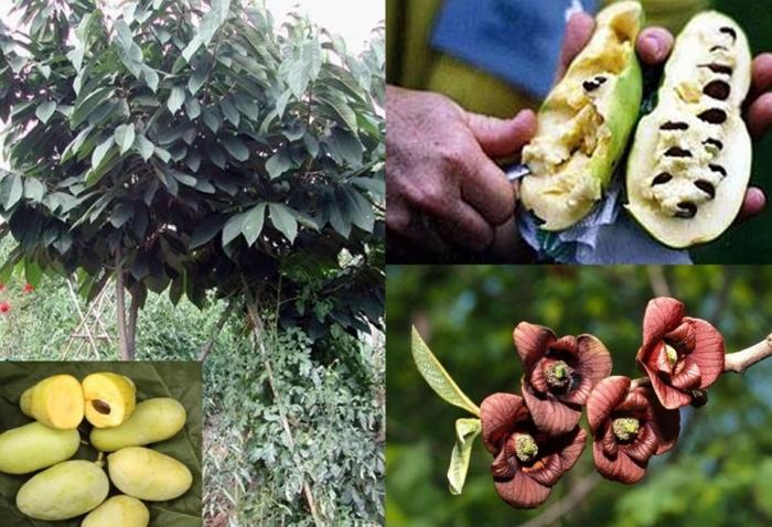 Азимина – банановое дерево, которое может расти и в вашем саду