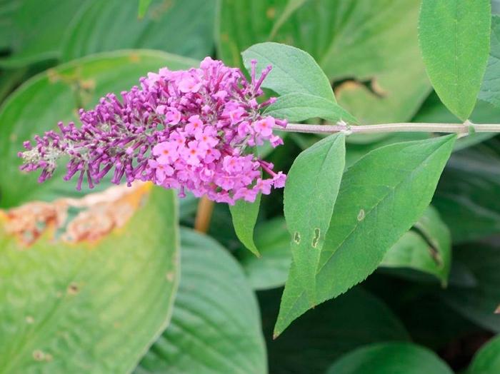 Особенности выращивания Буддлеи Давида в саду