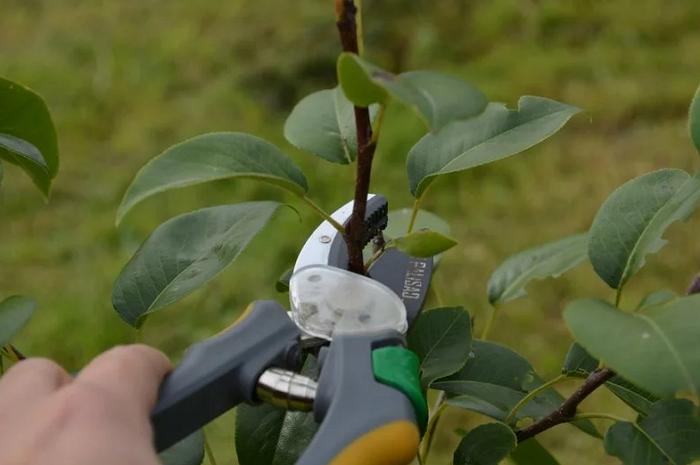 Китайская груша: её особенности и правила выращивания сорта