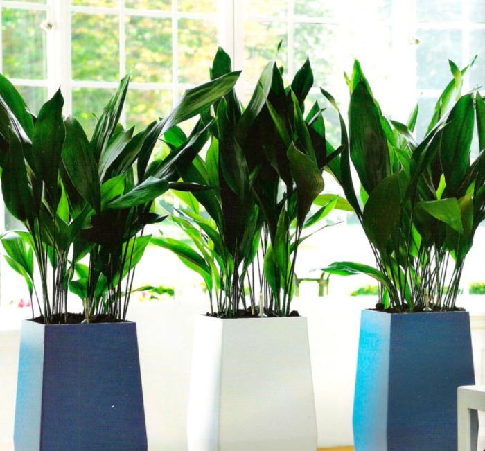 Выращиваем аспидистру – железную леди среди вечнозелёных