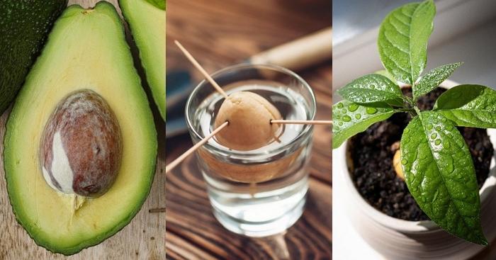 Авокадо из косточки: как вырастить в домашних условиях