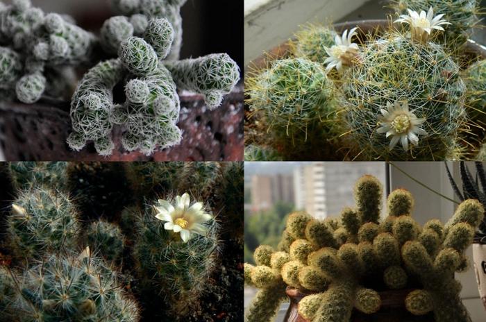 Маммиллярия — колючая прелесть. Выращиваем кактус в домашних условиях