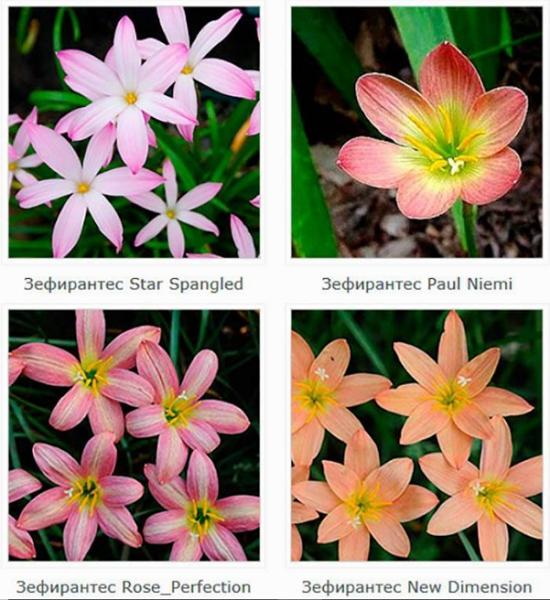 Зефирантес: детали ухода за цветущим «выскочкой»