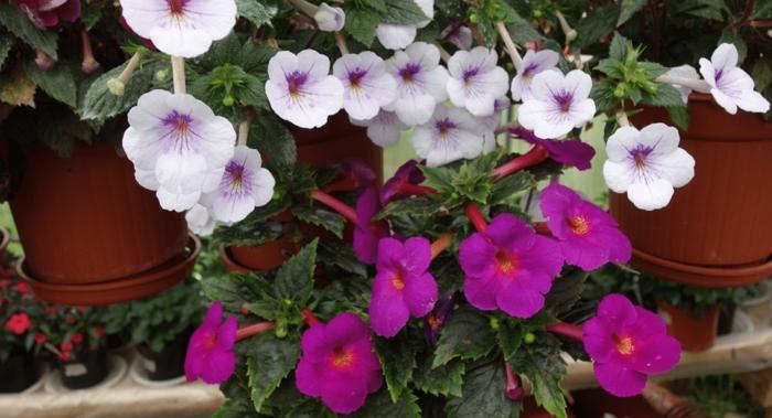 Ахименес – пышное цветение при минимальном уходе
