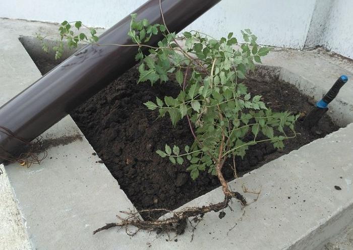 Кампсис – неприхотливая лиана для вашего сада