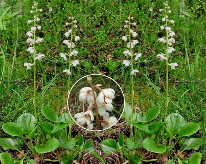Трава грушанка: характеристика, выращивание и лечебные свойства