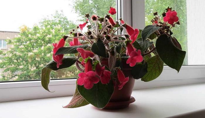 Бархатные листья и обилие колокольчиков: выращиваем калерию