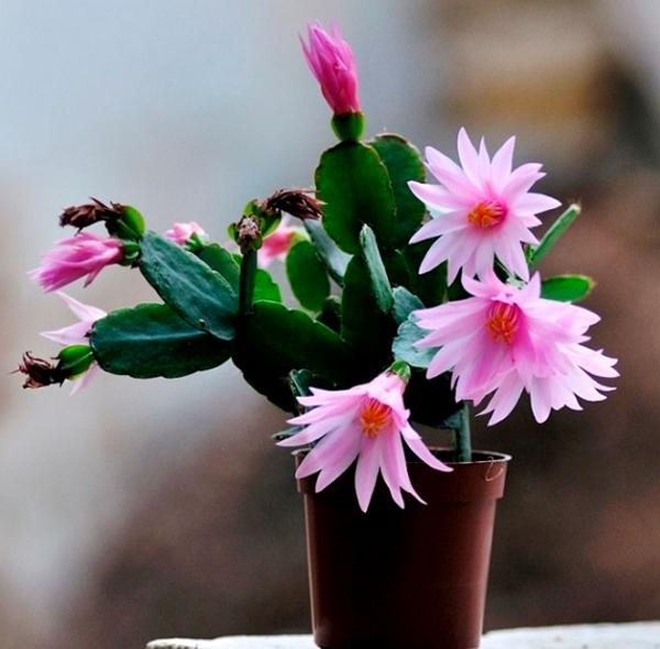 Лесной кактус Рипсалидопсис – особенности ухода в домашних условиях