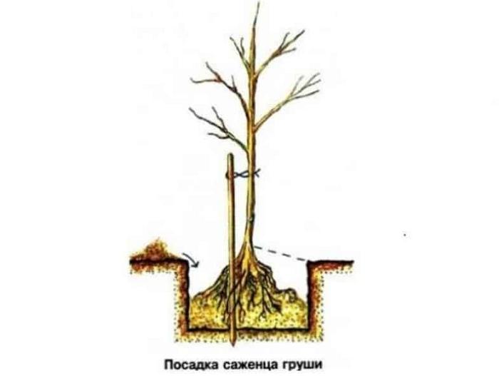 Груша Чижовская — сорт, прошедший проверку временем