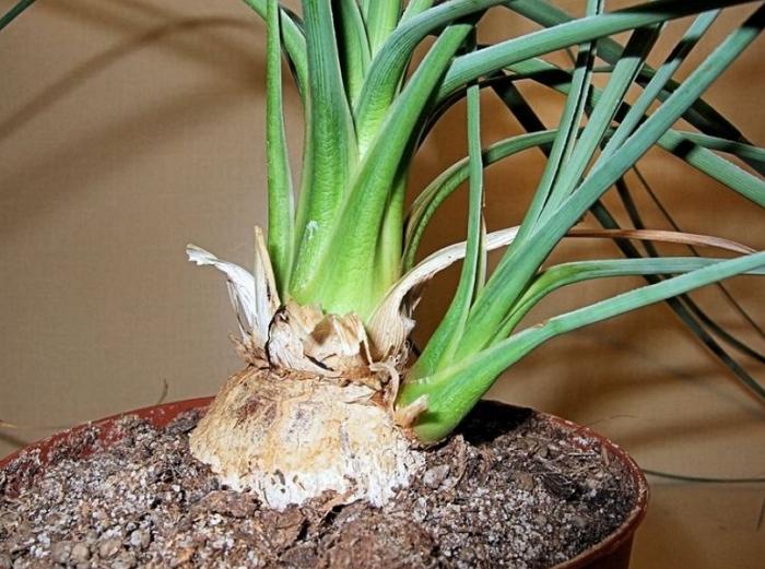 Правильный уход за цветком нолина или бокарнеей в домашних условиях