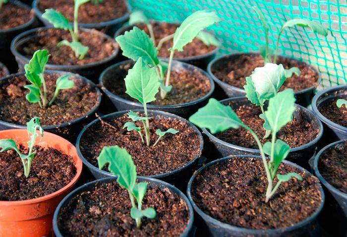 Что за овощ брюква и как её вырастить?