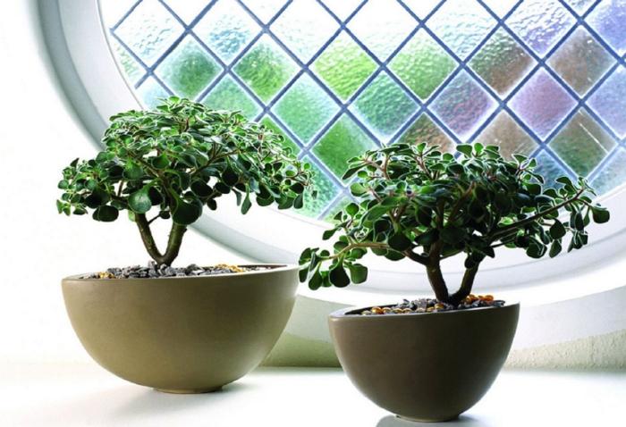 Аихризон или дерево любви и счастья: уход в домашних условиях