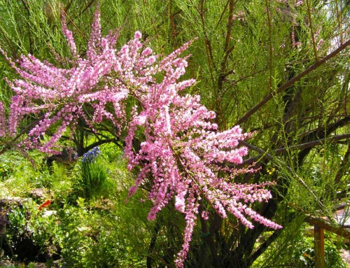Изящный кустарник тамарикс в вашем саду: советы по содержанию и уходу