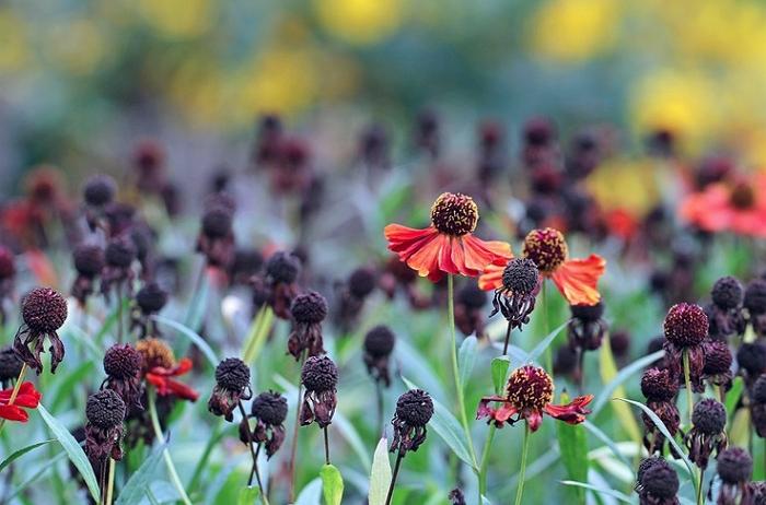 Цветок солнца гелениум: описание и разновидности, посадка и уход