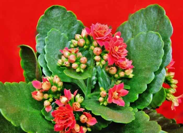 Каланхоэ цветущий: выращивание в домашних условиях