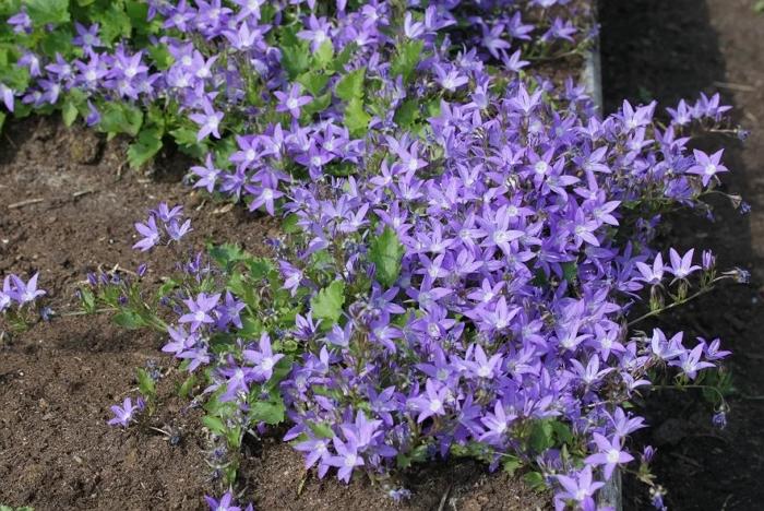 Садовая многолетняя кампанула — красивый цветок в саду