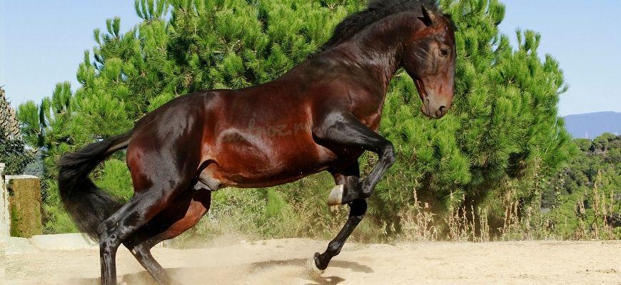 Андалузский конь