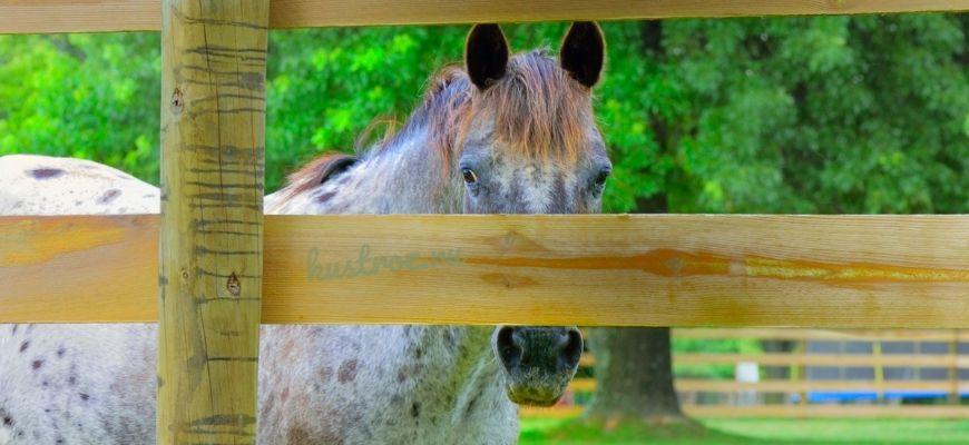 Аппалуза – американская пятнистая лошадь