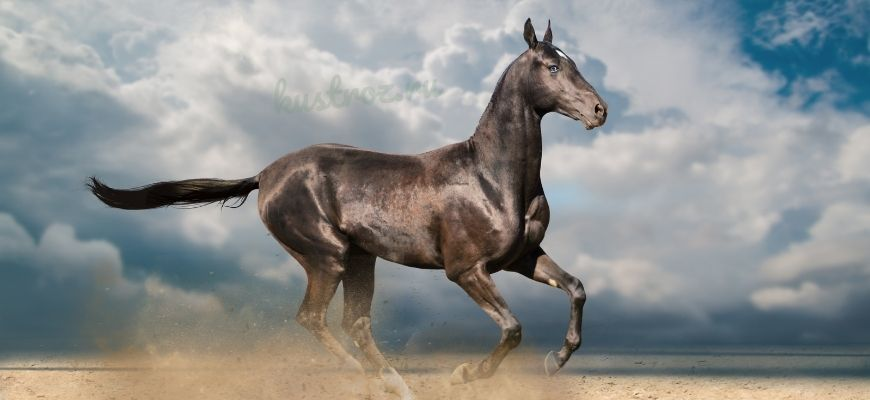 Чистокровная лошадь аргамак