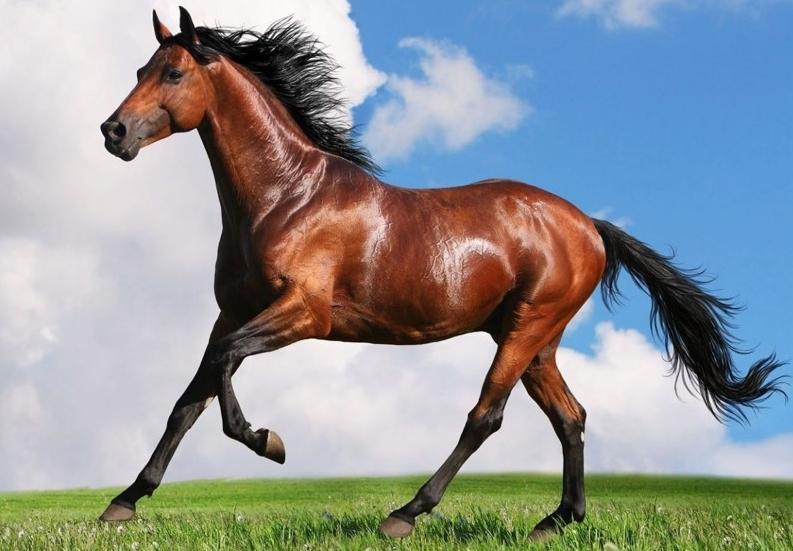Ахалтекинская лошадь – чистокровный небесный аргамак