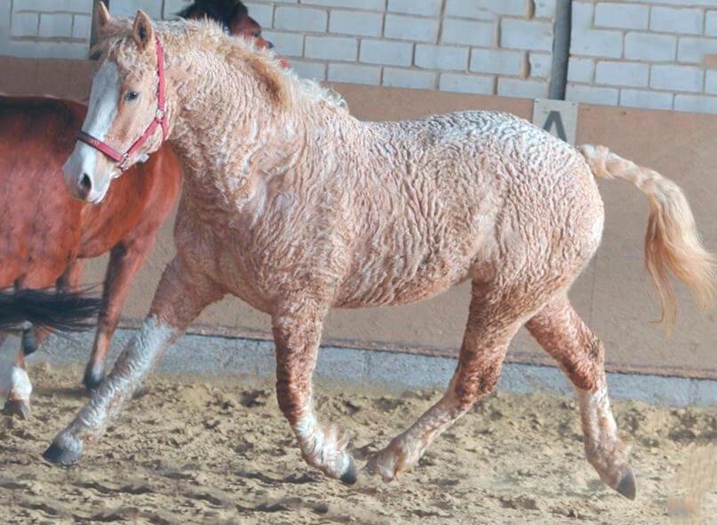 Башкирская кудрявая лошадь