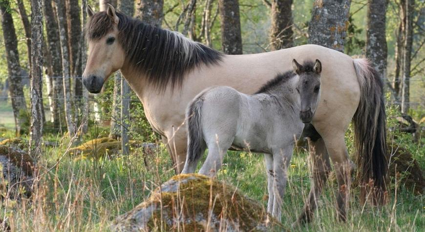 Башкирская порода лошадей – потомок тарпанов
