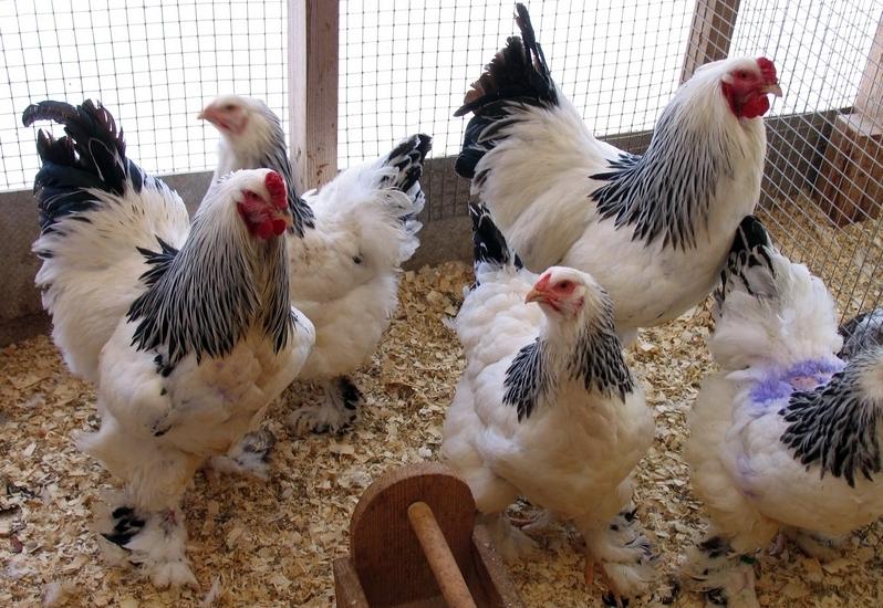 Брама – добрые гиганты среди куриц