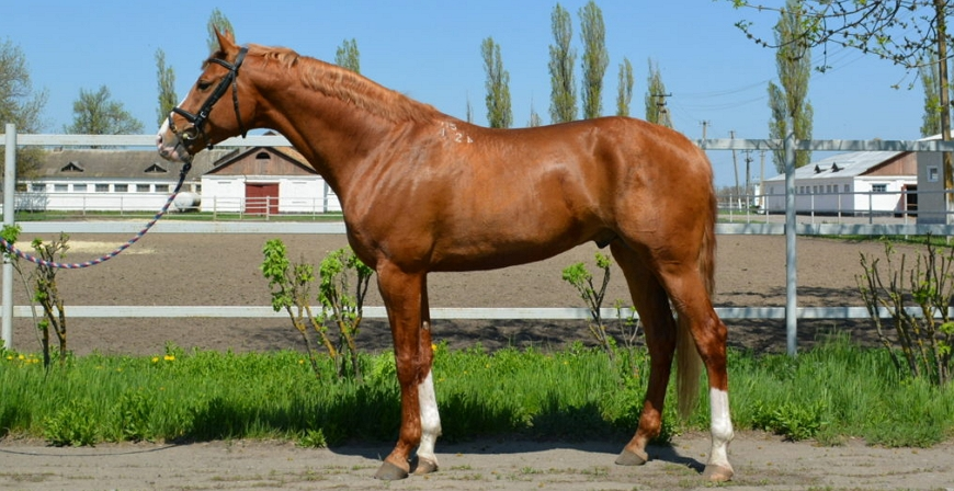 Буденовская лошадь в спорте