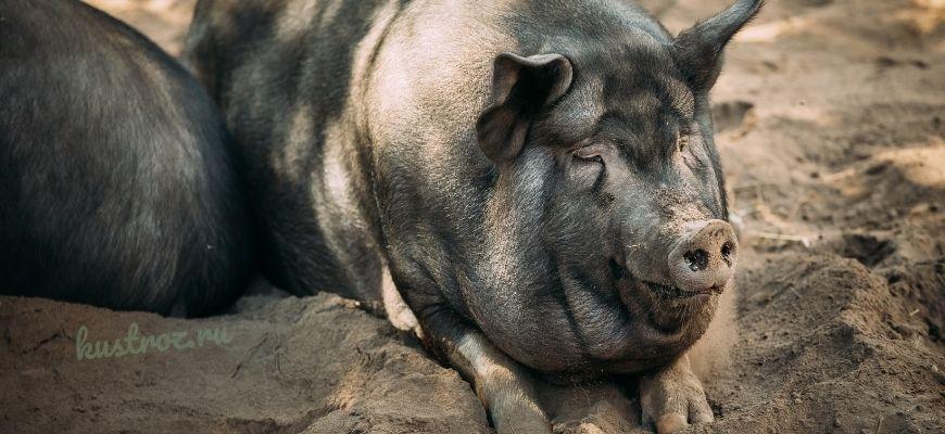 Крупная чёрная свинья