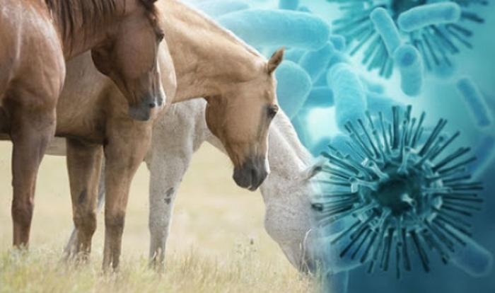 Африканская чума – течение болезни у лошадей