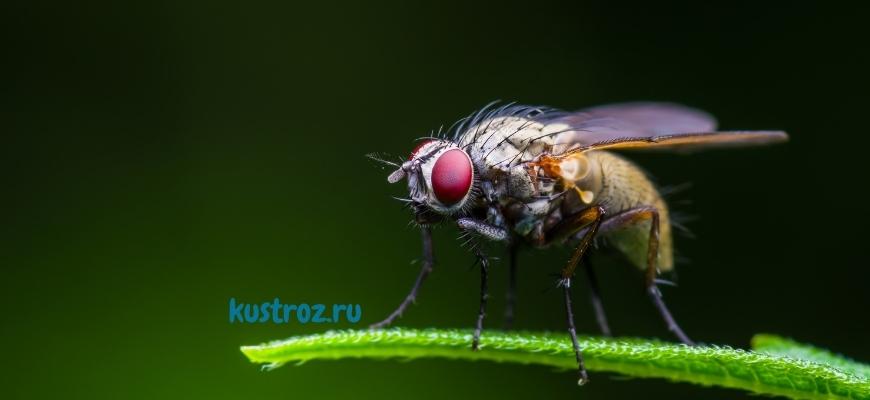 Дрозофила муха