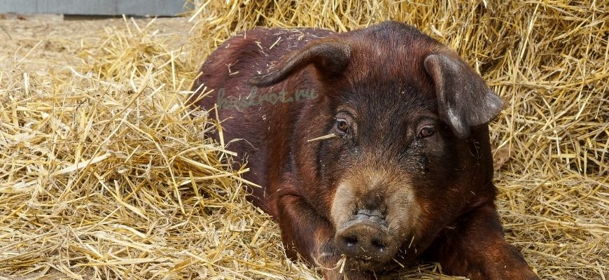 Какие есть породы свиней и в чем разница