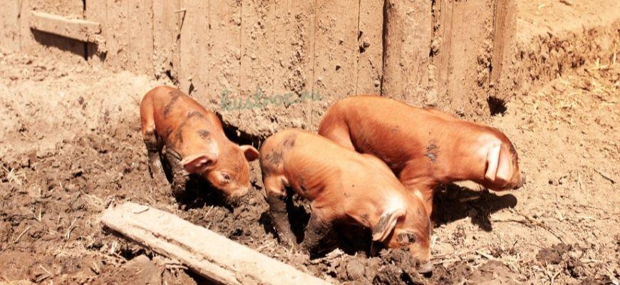 Порода свиней Дюрок – действительно много мяса!