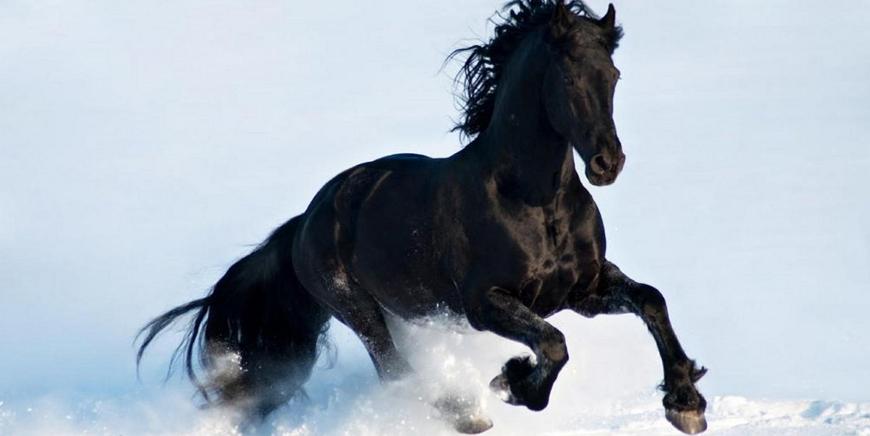 Фризская лошадь – порода севера Нидерланд