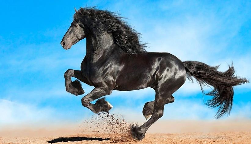 Фризская лошадь – самая красивая порода!