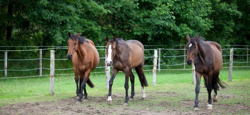 Голштинская порода лошадей