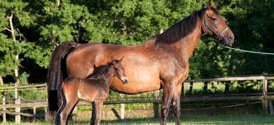 Голштинская лошадь с жеребенком