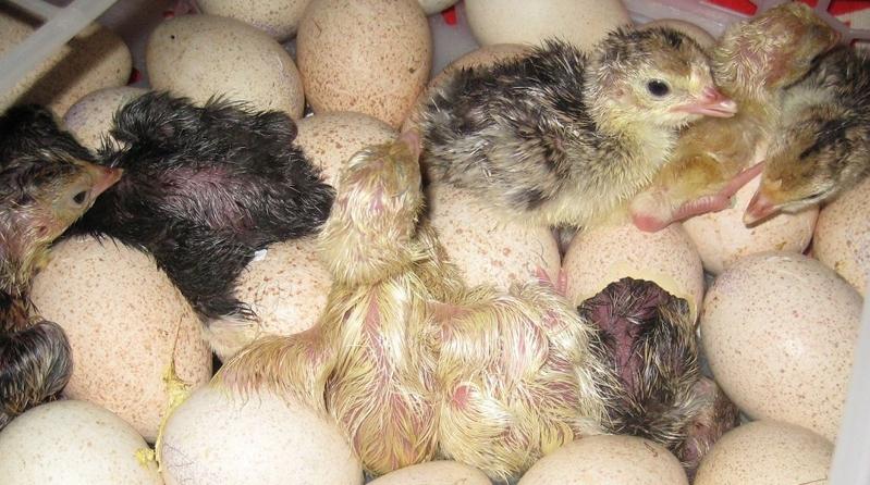 Правила инкубации индюшиных яиц