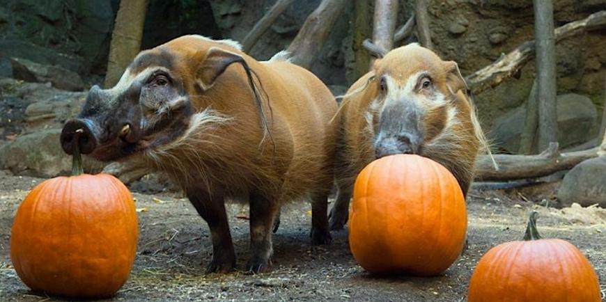 Кистеухая или речная свинья – очень красивая хрюша!