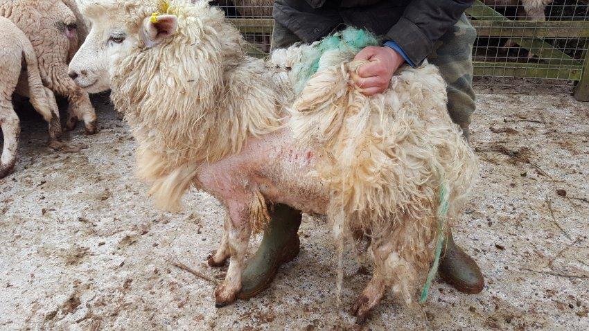Чесоточные клещи у овец