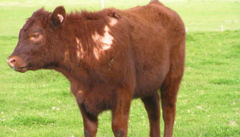 Чесоточные клещи у коров