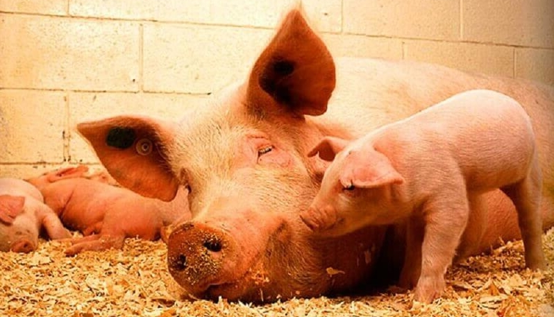 Свинья Ландрас – элитная порода для бекона