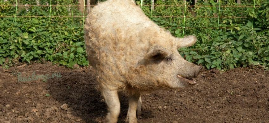 Венгерская мангалица порода свиней