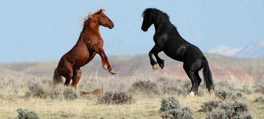 Мустанги – американские дикие лошади
