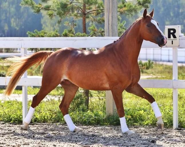 Ольденбургские лошади – графская порода