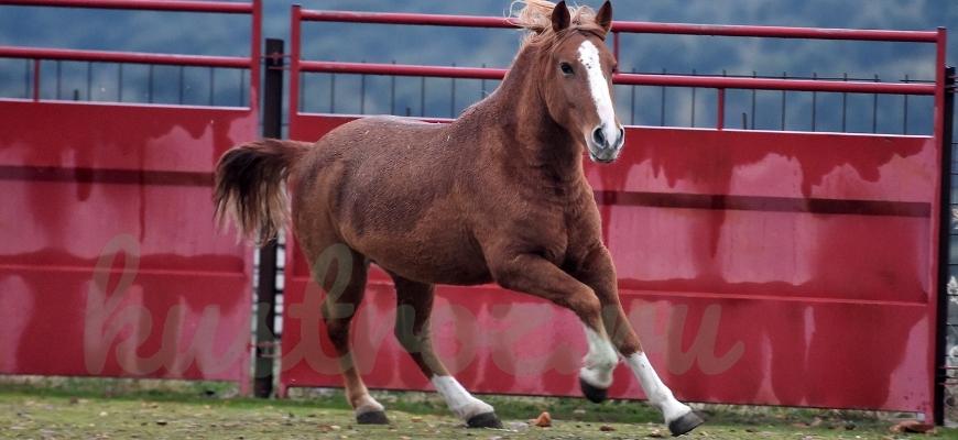 Першерон – порода лошадей