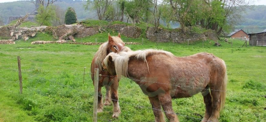 Першерон лошади