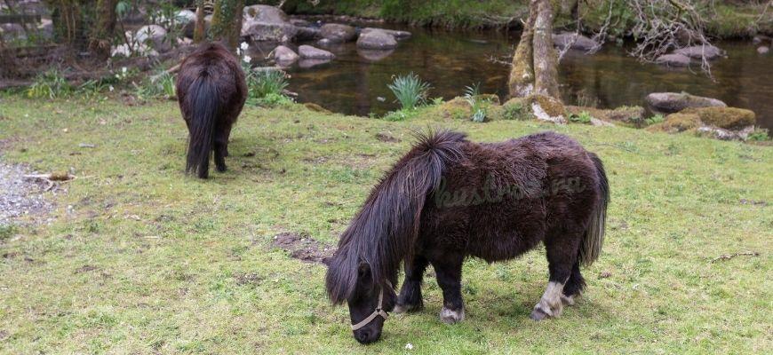 Астурконский пони