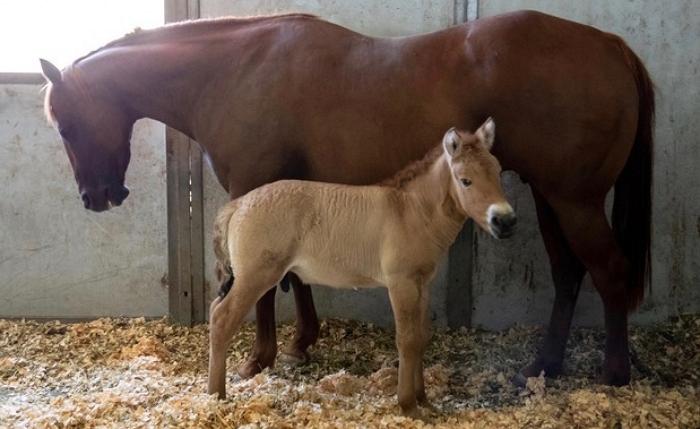 Клон лошади Пржевальского